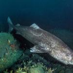 requin groenland