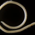 Mille-pattes avec 4 pénis et 414 pattes : une nouvelle espèce très étrange vient d'être découverte