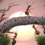 Des fourmis des îles Fidji ont appris à cultiver des fruits pour survivre