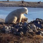 Un ours polaire caresse un chien au lieu de le dévorer et c'est adorable