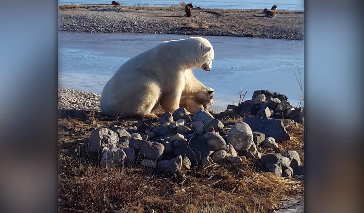 un ours polaire caresse un chien au lieu de le d vorer et c 39 est adorable. Black Bedroom Furniture Sets. Home Design Ideas