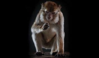 Certains singes sont plus près de pouvoir parler comme nous qu'on pouvait le penser jusqu'`a présent