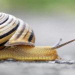 Au moins deux espèces d'escargots sauraient se battre à coups de coquille