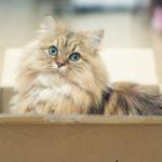 Science des chats : pourquoi les félins aiment-ils autant les boîtes ?