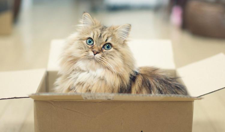 Sauriez-vous dire pourquoi les félins aiment-ils autant les boîtes ?
