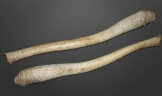 La monogamie serait responsable de la disparition de l'os dans le pénis