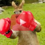 Un australien a sauvé son chien en se battant à la boxe avec un kangourou