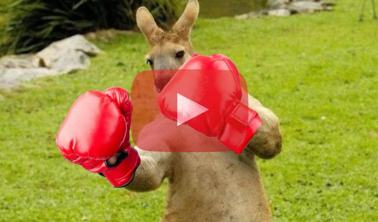 Un australien se bat à la boxe avec un kangourou pour sauver son chien