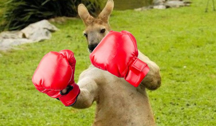 un-australien-se-bat-a-la-boxe-avec-un-kangourou-pour-sauver-son-chien