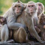 La plupart des espèces de singes devraient disparaître d'ici 25 à 50 ans