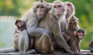plupart especes singes probablement disparaitre 25 50 ans