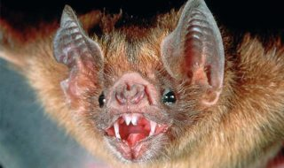 chauves souris prennent humains comme vampires