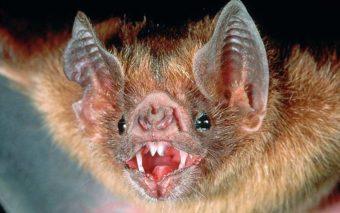 Des chauves-souris s'en prennent au sang humain, comme des vampires