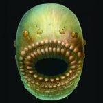 Le plus vieil ancêtre de l'Homme était sans anus, mais avait une bouche énorme !