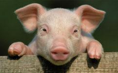 Un hybride mi-humain mi-porc vient d'être créé en laboratoire