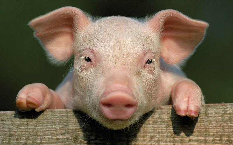 hybride mi-humain mi-porc cree laboratoire