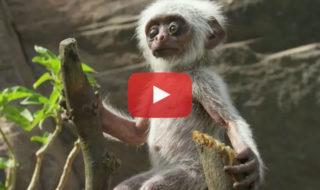 video singe mourir bebe robot espion suite incroyable