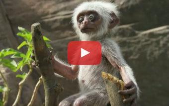 Vidéo : un singe fait «mourir» un bébé robot espion, la suite est incroyable