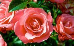 Saint Valentin 2017 : évitez les fleurs bourrées de pesticides toxiques pour l'être humain !