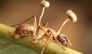champignons tueurs cordyceps