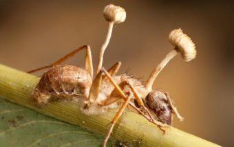 Ces redoutables champignons tueurs zombifient leurs victimes, en vidéo
