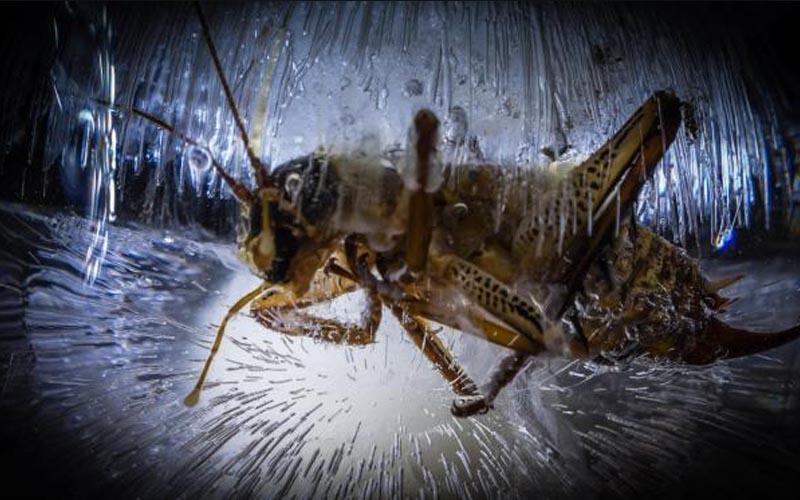 weta insecte zombie