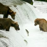 bearcam ours saumons