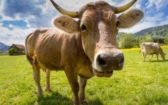 SIDA : un vaccin contre le VIH pourrait être développé grâce… aux vaches