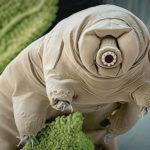Tardigrades : ces animaux microscopiques survivraient en cas de supernova