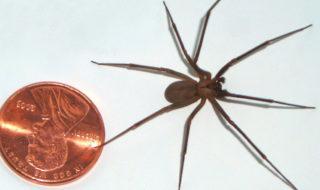 Araignées : la morsure de la dangereuse recluse brune aurait provoqué plusieurs cas de nécrose
