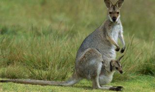 Australie : un écologiste supplie tout le monde de manger de la viande de Kangourou