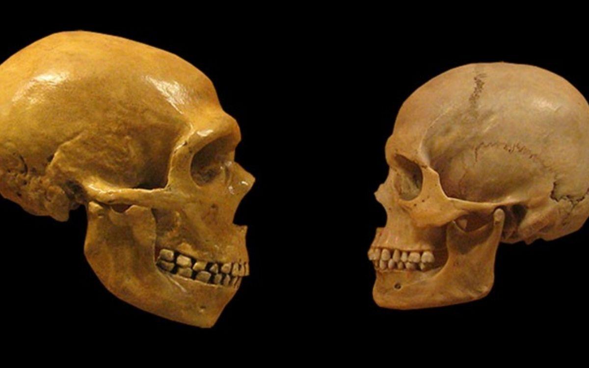 Crânes néandertalien et d'homme moderne | Mike Baxter:Musée d'Histoire Naturelle de Cleveland CC BY-SA 2.0