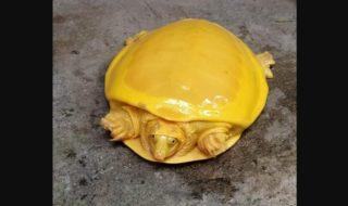 Une tortue jaune rarissime sauvée en Inde